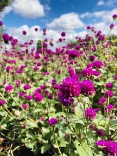 紫色の花のクローズアップの写真・画像素材[3680287]