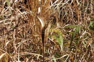 タカサゴユリの種の写真・画像素材[4177139]