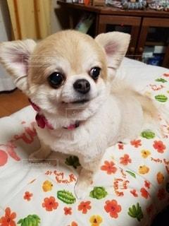 ベッドに横たわっている小さな茶色と白い犬の写真・画像素材[2690777]
