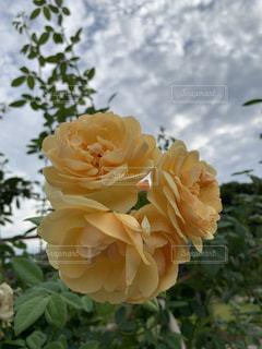 黄色の薔薇の写真・画像素材[2684960]