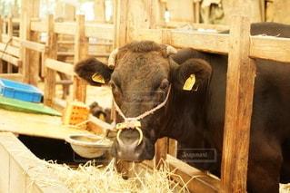 幻の五島牛の写真・画像素材[2690516]