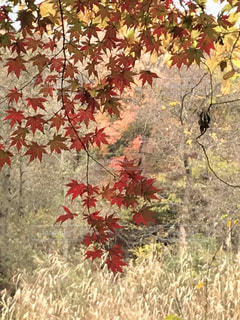 野原に鮮やかな紅葉の写真・画像素材[2688059]