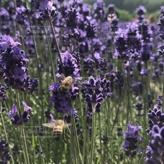 ラベンダーと蜂の写真・画像素材[2691837]