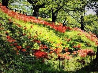 天童市の集まって咲くたくさんの赤い彼岸花の写真・画像素材[3740508]