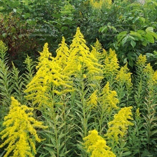 セイタカアワダチソウの黄色い鮮やかな花の写真・画像素材[3809603]