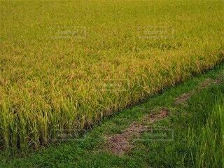 稲の実った田園風景の写真・画像素材[3826465]