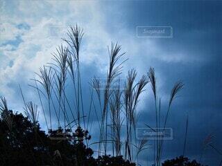 秋のススキと空の写真・画像素材[3839199]