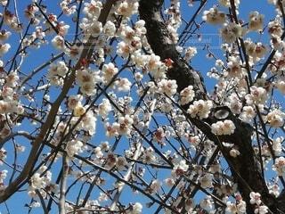 満開の梅の花の写真・画像素材[4331507]