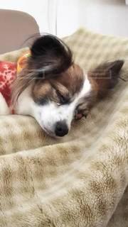 いつも昼寝時は、半目で寝る犬です!今回は瞼が捲れてました‼️の写真・画像素材[2766348]