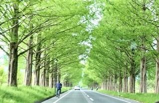 新緑のメタセコイア並木の写真・画像素材[2694194]
