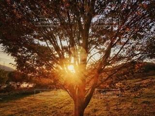夕日が背景にある木の写真・画像素材[2696936]