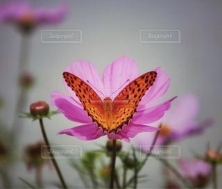 秋桜と蝶の写真・画像素材[2716466]