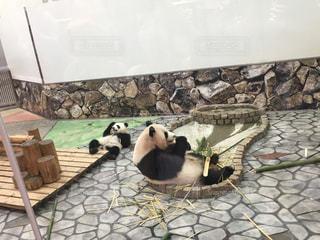 パンダののんびりタイムの写真・画像素材[2691021]