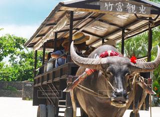 竹富島の水牛の写真・画像素材[757611]