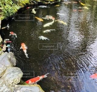 水の中の鯉の写真・画像素材[2693037]