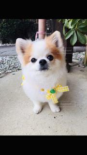 小さな白い犬の写真・画像素材[2699617]