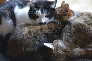 猫の写真・画像素材[105308]