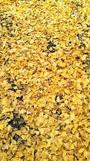 いちょうの葉の絨毯の写真・画像素材[2753880]