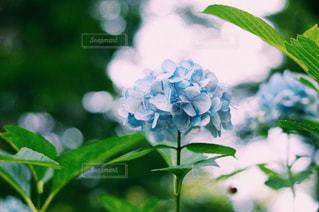 紫陽花の写真・画像素材[2696347]