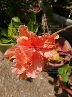 八重咲きのハイビスカスの写真・画像素材[2705387]