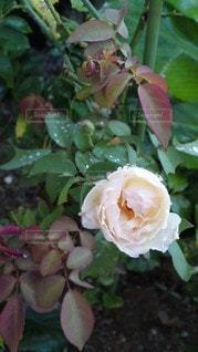 雨上がりの薔薇の写真・画像素材[2708824]