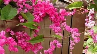 色鮮やかなピンクの花の写真・画像素材[2728514]