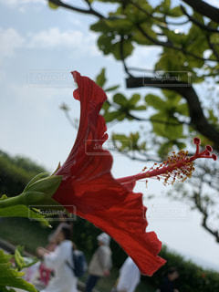 緑の葉を持つ赤い花の写真・画像素材[2699925]
