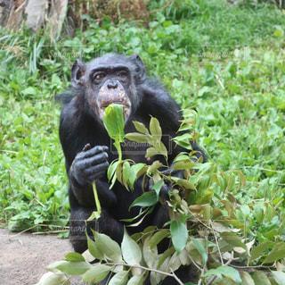 草を食べるチンパンジーの写真・画像素材[2700051]