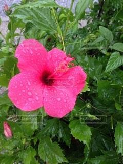 植物の上のハイビスカスの写真・画像素材[2701332]
