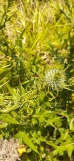 トゲトゲの蕾とてんとう虫の写真・画像素材[2706363]