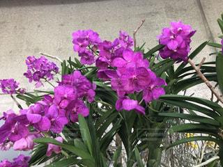 亜熱帯ドリームセンターの洋蘭の写真・画像素材[2883580]
