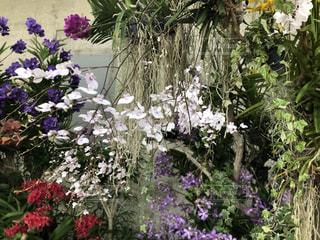 沖縄海洋博公園亜熱帯ドリームセンターの洋蘭の写真・画像素材[2883585]
