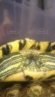 昼寝中の亀の写真・画像素材[2704320]