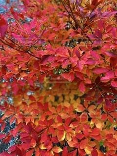 紅葉の写真・画像素材[2794453]