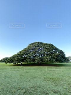 日立の樹の写真・画像素材[2851935]