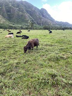 牛の写真・画像素材[2904509]