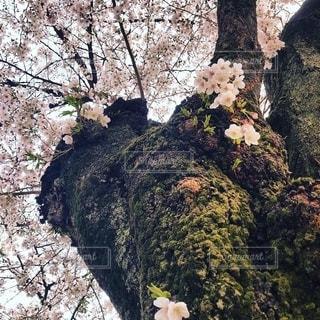靖国神社の桜の写真・画像素材[2706462]