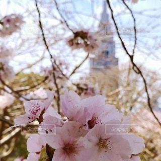 新宿御苑のサクラの写真・画像素材[2706466]