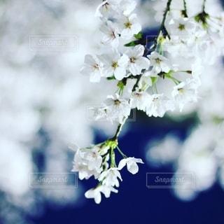 夜桜の写真・画像素材[2706511]