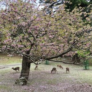 木の下の鹿の群れの写真・画像素材[2706678]