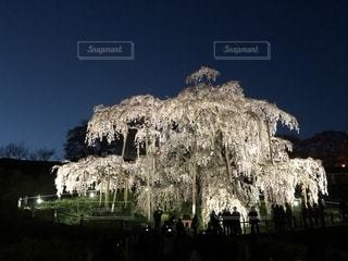 三春の滝桜の写真・画像素材[2706686]