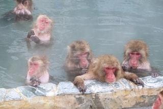 サルの温泉の写真・画像素材[2707161]