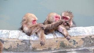 温泉と猿の写真・画像素材[2707162]