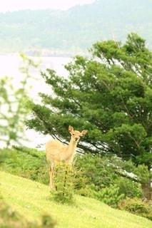 緑豊かな丘に立つバンビの写真・画像素材[2707281]