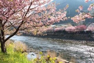 川と桜の写真・画像素材[2707453]