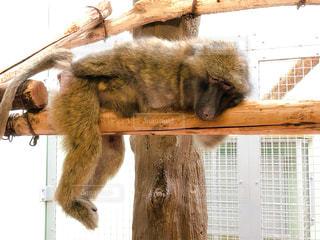 動物園でリラックスするおサルの写真・画像素材[2899380]