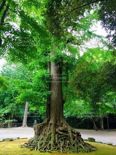 安房神社の樹木の写真・画像素材[2928866]