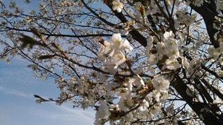 桜の写真・画像素材[2718920]