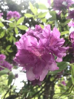 紫色のつつじの写真・画像素材[2708740]