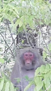 こっちを見てる野猿の写真・画像素材[2709753]